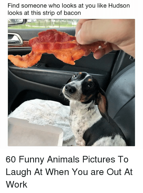 Funny animals: Find someone who looks at you like Hudson  looks at this strip of bacon 60 Funny Animals Pictures To Laugh At When You are Out At Work
