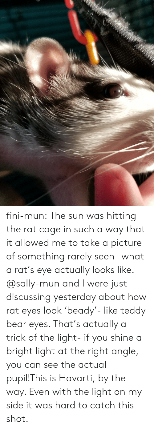 Sally: fini-mun:  The sun was hitting the rat cage in such a way that it allowed me to take a picture of something rarely seen- what a rat's eye actually looks like. @sally-mun and I were just discussing yesterday about how rat eyes look 'beady'- like teddy bear eyes. That's actually a trick of the light- if you shine a bright light at the right angle, you can see the actual pupil!This is Havarti, by the way. Even with the light on my side it was hard to catch this shot.