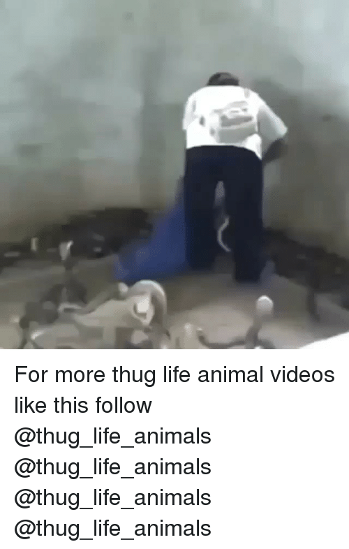 Animal Videos: For more thug life animal videos like this follow @thug_life_animals @thug_life_animals @thug_life_animals @thug_life_animals