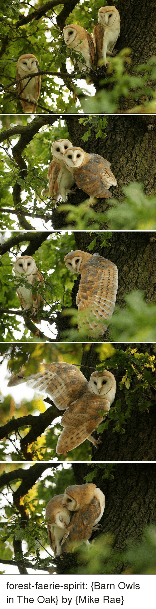 barn: forest-faerie-spirit: {Barn Owls in The Oak} by {Mike Rae}