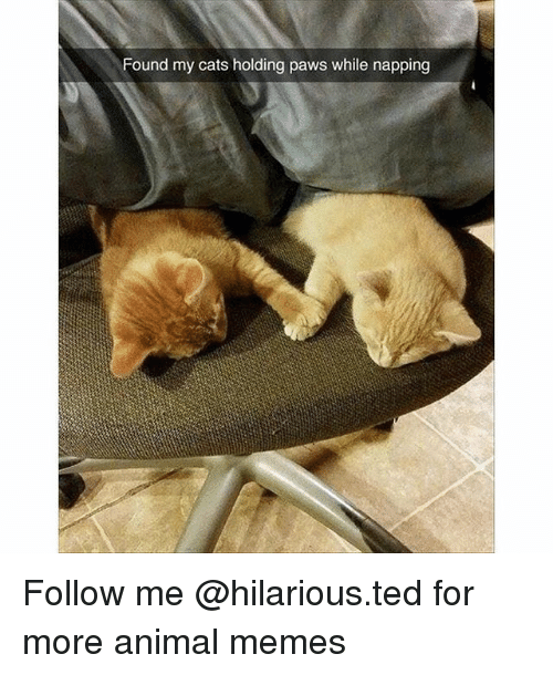 Cats, Funny, and Memes: Found my cats holding paws while napping Follow me @hilarious.ted for more animal memes