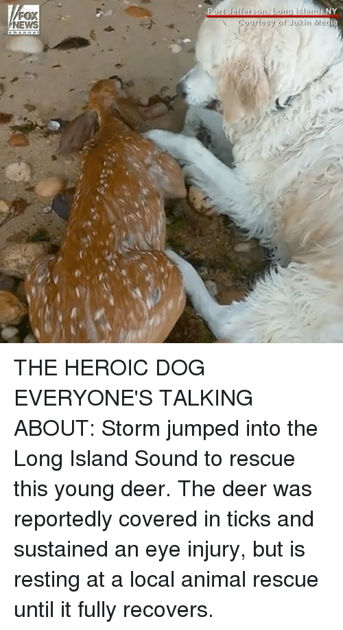 ticks: FOX  NEWS  Port Jefferson. Lona sland NY  ia  Courtesy of Jukin Mes THE HEROIC DOG EVERYONE'S TALKING ABOUT: Storm jumped into the Long Island Sound to rescue this young deer. The deer was reportedly covered in ticks and sustained an eye injury, but is resting at a local animal rescue until it fully recovers.