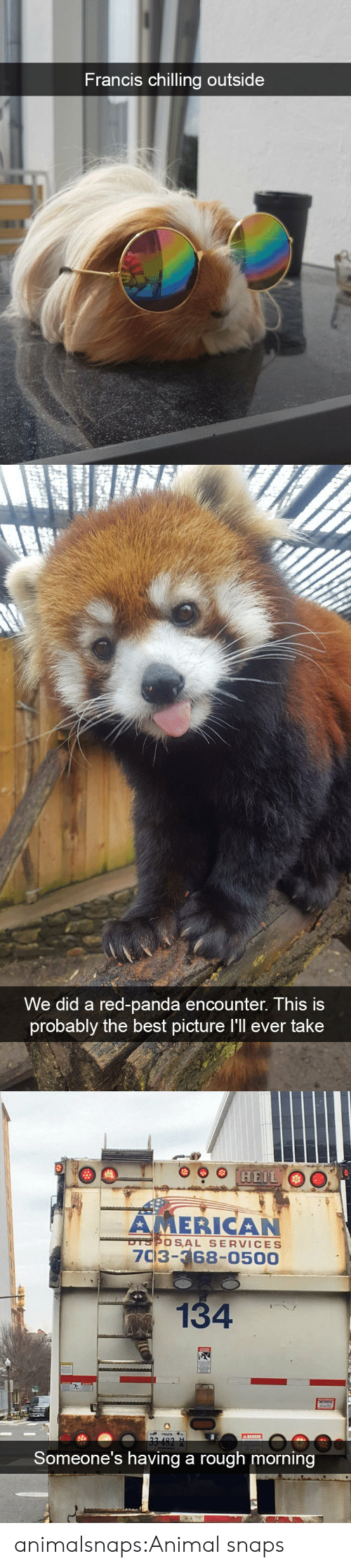 Americanization: Francis chilling outsi  de   We did a red-panda encounter. This is  probably the best picture I'll ever take   AMERICAN  7C3-68-0500  OSAL SERVICES  134  Someone's having a rough morning animalsnaps:Animal snaps