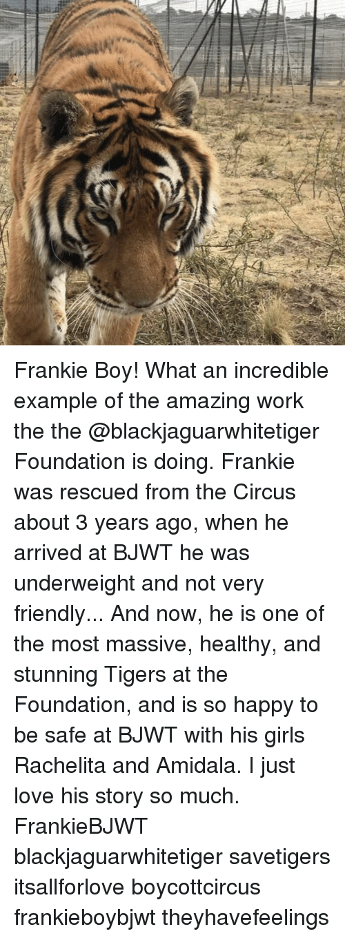 Memes, 🤖, and Working: Frankie Boy! What an incredible example of the amazing work the the @blackjaguarwhitetiger Foundation is doing. Frankie was rescued from the Circus about 3 years ago, when he arrived at BJWT he was underweight and not very friendly... And now, he is one of the most massive, healthy, and stunning Tigers at the Foundation, and is so happy to be safe at BJWT with his girls Rachelita and Amidala. I just love his story so much. FrankieBJWT blackjaguarwhitetiger savetigers itsallforlove boycottcircus frankieboybjwt theyhavefeelings
