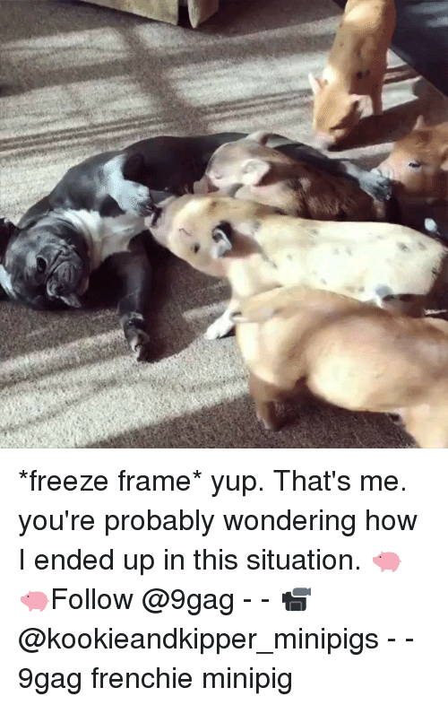 Freeze Frame: *freeze frame* yup. That's me. you're probably wondering how I ended up in this situation. 🐖🐖Follow @9gag - - 📹@kookieandkipper_minipigs - - 9gag frenchie minipig