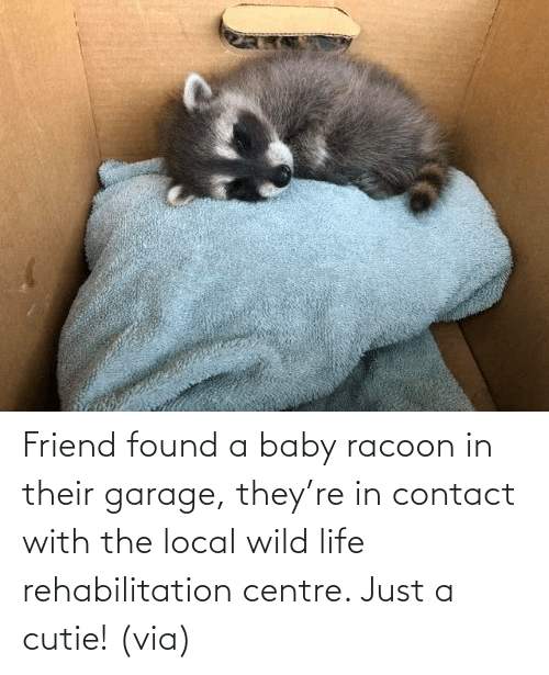 Baby: Friend found a baby racoon in their garage, they're in contact with the local wild life rehabilitation centre. Just a cutie! (via)