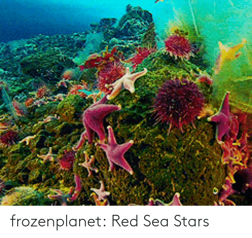 sea: frozenplanet:  Red Sea Stars