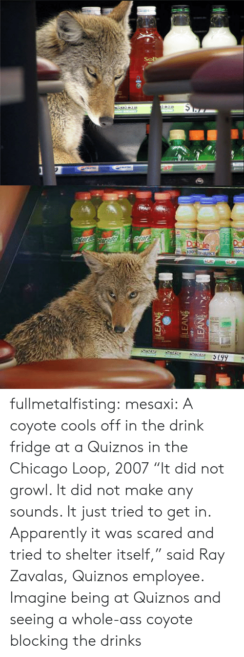 "Chicago: fullmetalfisting:  mesaxi:  A coyote cools off in the drink fridge at a Quiznos in the Chicago Loop, 2007 ""It did not growl. It did not make any sounds. It just tried to get in. Apparently it was scared and tried to shelter itself,"" said Ray Zavalas, Quiznos employee.   Imagine being at Quiznos and seeing a whole-ass coyote blocking the drinks"