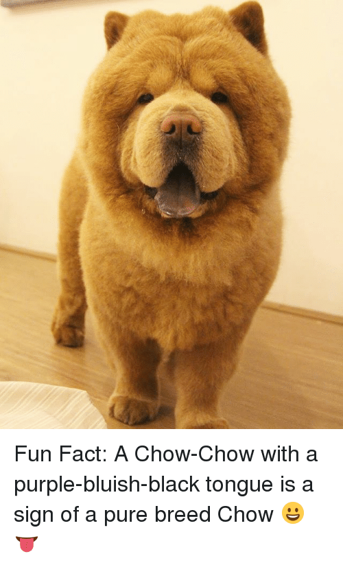 Facts, Memes, and Black: Fun Fact: A Chow-Chow with a purple-bluish-black tongue is a sign of a pure breed Chow 😀👅