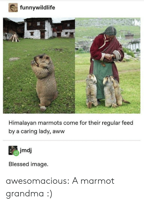 Aww, Blessed, and Grandma: funnywildlife  Himalayan marmots come for their regular feed  by a caring lady, aww  jmdj  Blessed image. awesomacious:  A marmot grandma :)