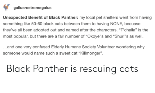 """Cats, Confused, and Black: gallusrostromegalus  Unexpected Benefit of Black Panther: my local pet shelters went from having  something like 50-60 black cats between them to having NONE, becuase  they've all been adopted out and named after the characters. """"T'challa"""" is the  most popular, but there are a fair number of """"Okoye""""s and """"Shuri""""s as well  ...and one very confused Elderly Humane Society Volunteer wondering why  someone would name such a sweet cat """"Killmonger"""" Black Panther is rescuing cats"""