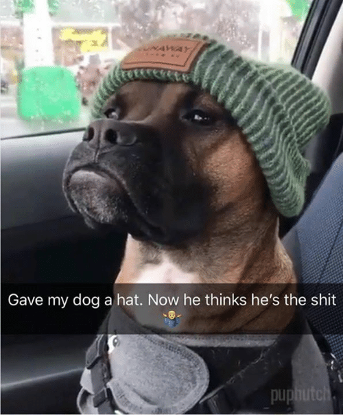 Memes, Shit, and Pup: Gave my dog a hat. Now he thinks he's the shit  pup