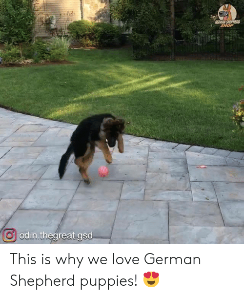 Love, Memes, and Puppies: GERMAN SHEPHERD  SHOP  odin.thegreat.gsd This is why we love German Shepherd puppies! 😍