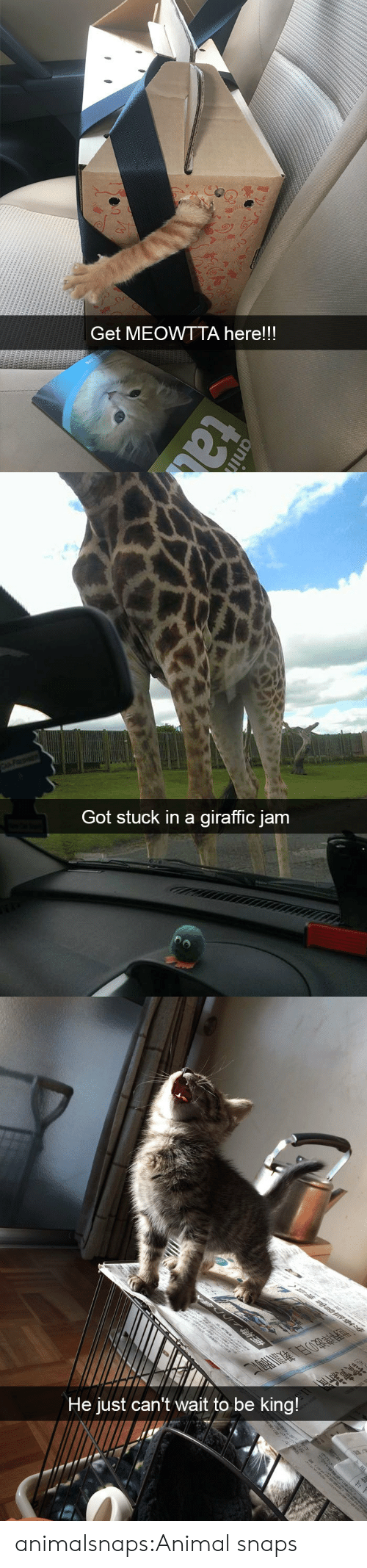 Target, Tumblr, and Animal: Get MEOWTTA here!!!   Got stuck in a giraffic jam   He just can't wait to be king! animalsnaps:Animal snaps