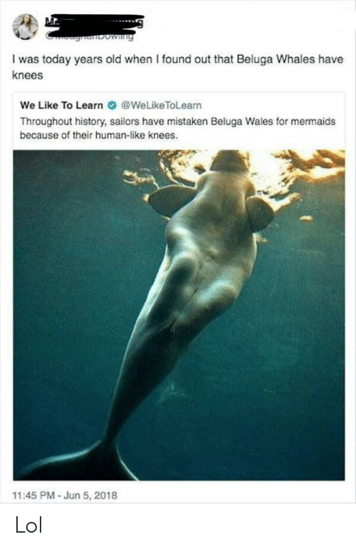 Lol, History, and Mermaids: ghanbowng  I was today years old when I found out that Beluga Whales have  knees  We Like To Learn@WeLikeToLearn  Throughout history, sailors have mistaken Beluga Wales for mermaids  because of their human-like knees.  11:45 PM - Jun 5, 2018 Lol