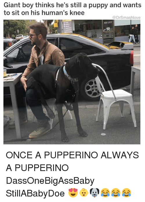 Memes, Giant, and Puppy: Giant boy thinks he's still a puppy and wants  to sit on his human's knee  @DrSmashlove  925 2777 ONCE A PUPPERINO ALWAYS A PUPPERINO DassOneBigAssBaby StillABabyDoe 😍👶🐶😂😂😂