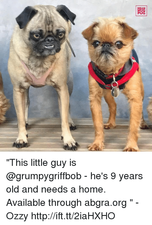 """Memes, 🤖, and Ozzy: Giz  图  C) """"This little guy is @grumpygriffbob - he's 9 years old and needs a home. Available through abgra.org """" -Ozzy http://ift.tt/2iaHXHO"""