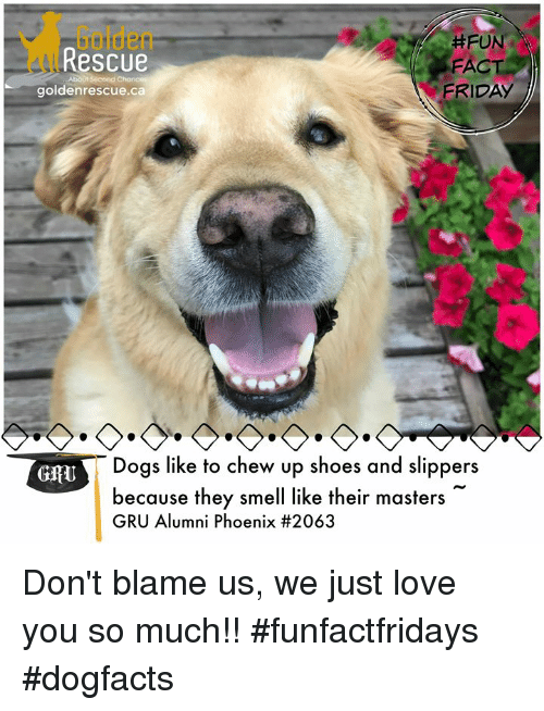 Dogs, Friday, and Love: Golden  Rescue  #FUN  FACT  FRIDAY  goldenrescue.ca  6  Dogs like to chew up shoes and slippers  because they smell like their masters  GRU Alumni Phoenix Don't blame us, we just love you so much!! #funfactfridays #dogfacts