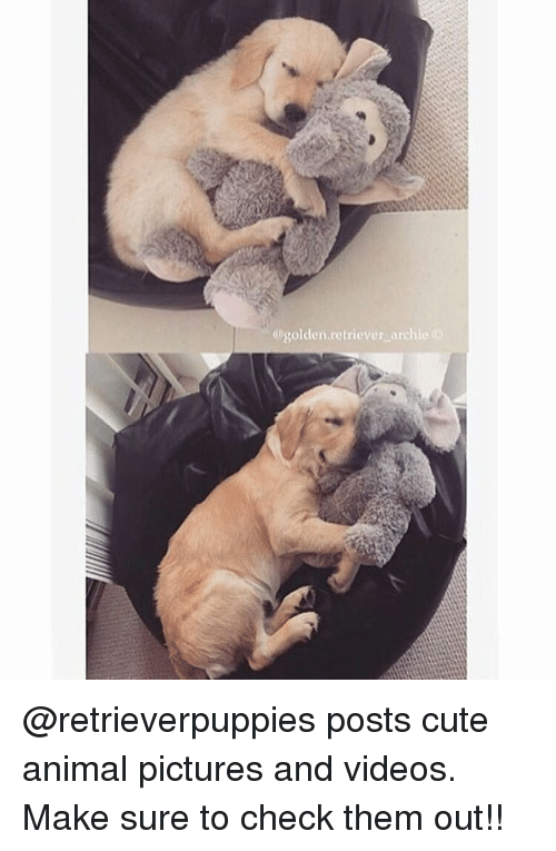 Cute Animals, Memes, and Golden Retriever: @golden retriever archie @retrieverpuppies posts cute animal pictures and videos. Make sure to check them out!!
