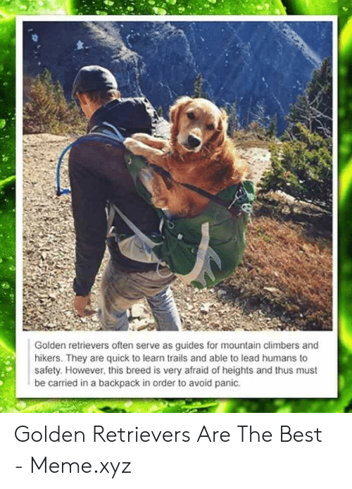 Meme, Best, and Lead: Golden retrievers often serve as guides for mountain climbers and  hikers. They are quick to learn trails and able to lead humans to  safety. However, this breed is very afraid of heights and thus must  be carried in a backpack in order to avoid panic. Golden Retrievers Are The Best - Meme.xyz