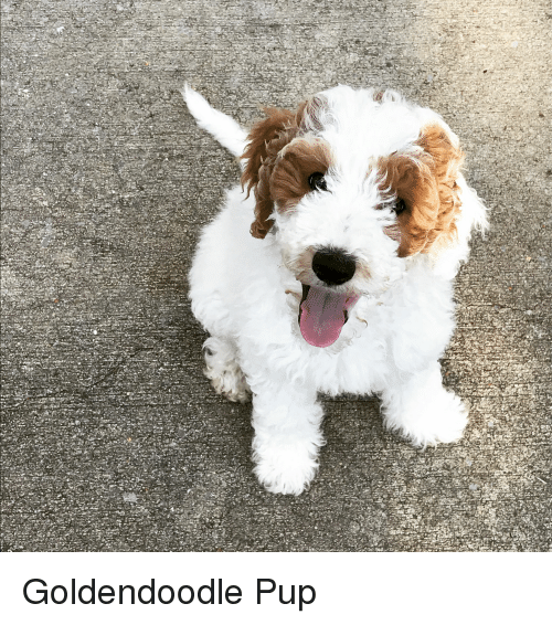 Dogs, Pup, and Did: Goldendoodle Pup