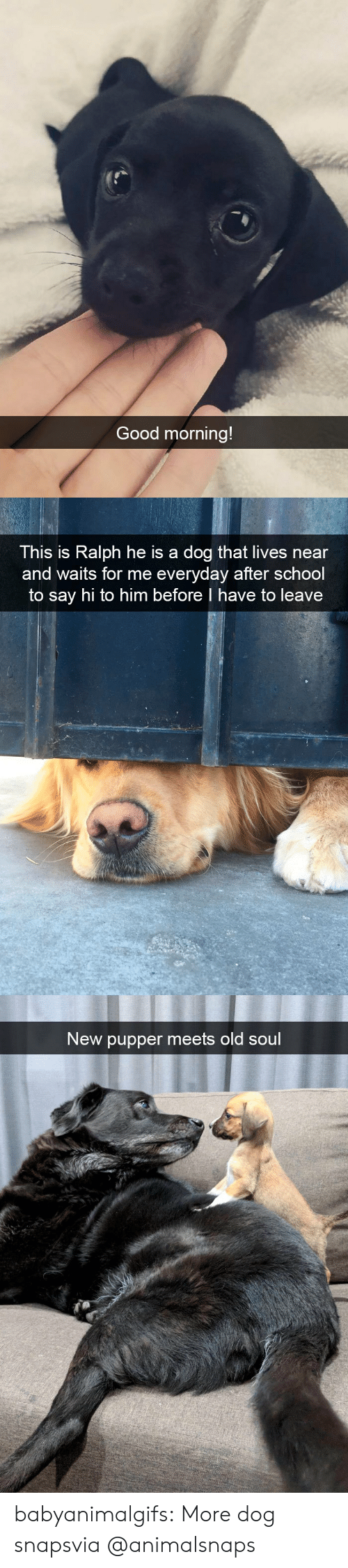 say hi: Good morning!   This is Ralph he is a dog that lives near  and waits for me everyday after school  to say hi to him before I have to leave   New pupper meets old soul babyanimalgifs:  More dog snapsvia @animalsnaps