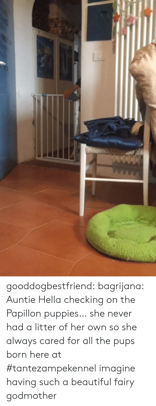 Beautiful, Puppies, and Tumblr: gooddogbestfriend:  bagrijana: Auntie Hella checking on the Papillon puppies… she never had a litter of her own so she always cared for all the pups born here at #tantezampekennel imagine having such a beautiful fairy godmother