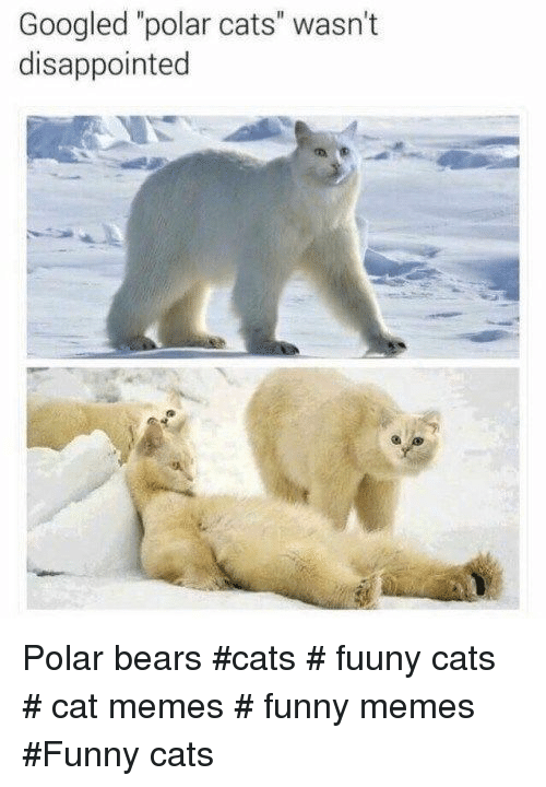 "Cat Memes Funny: Googled ""polar cats"" wasn't  disappointed Polar bears  #cats # fuuny cats # cat memes # funny memes #Funny cats"