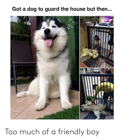 Friendly: Got a dog to guard the house but then... Too much of a friendly boy