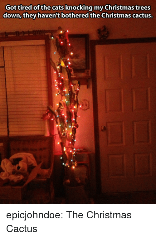 Cats, Christmas, and Tumblr: Got tired of the cats knocking my Christmas trees  down, they haven't bothered the Christmas cactus. epicjohndoe:  The Christmas Cactus