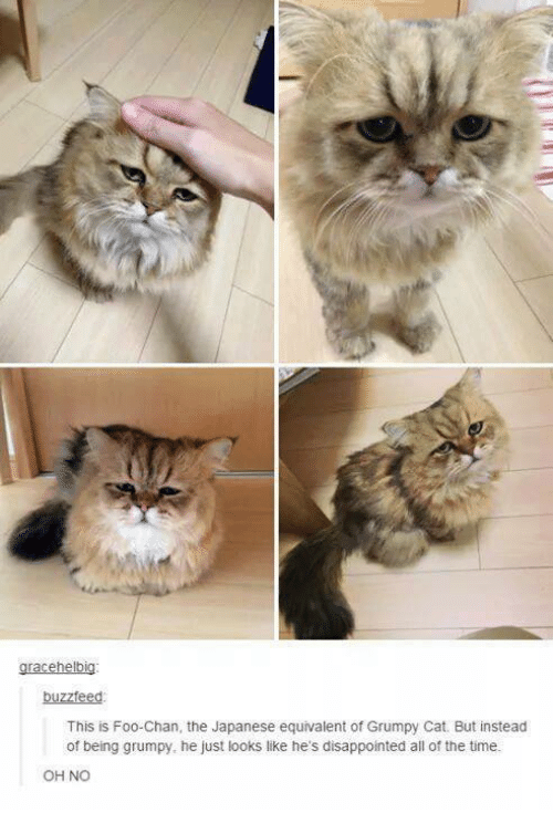Grumpy Cats: grace helbig:  buzzfeed  This is Foo Chan, the Japanese equivalent of Grumpy Cat. But instead  of being grumpy, he just looks like he's disappointed all of the time.  OHNO