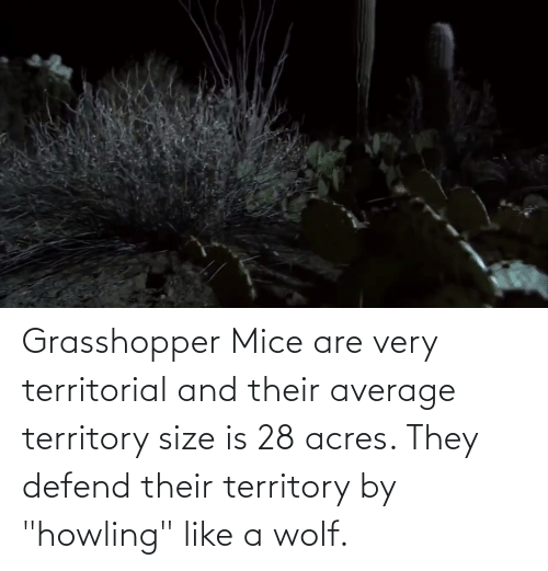 """howling: Grasshopper Mice are very territorial and their average territory size is 28 acres. They defend their territory by """"howling"""" like a wolf."""