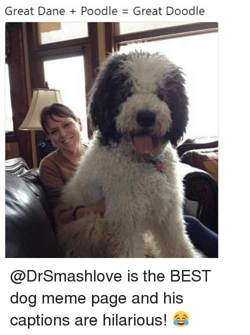 Funny, Meme, and Best: Great Dane + Poodle  Great Doodle @DrSmashlove is the BEST dog meme page and his captions are hilarious! 😂