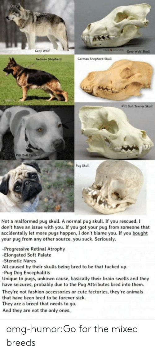 Animals, Cute, and Fashion: Grey Wolf  Wolf  German Shepherd  German Shepherd Skull  Pitt Bull Terrier Skull  Pitt Bull Terrier  Pug Skull  Not a malformed pug skull. A normal pug skull. If you rescued, I  don't have an issue with you. If you got your pug from someone that  accidentally let more pugs happen, I don't blame you. If you bought  your pug from any other source, you suck. Seriously.  -Progressive Retinal Atrophy  -Elongated Soft Palate  Stenotic Nares  All caused by their skulls being bred to be that fucked up  Pug Dog Encephalitis  Unique to pugs, unkown cause, basically their brain swells and they  have seizures, probably due to the Pug Attributes bred into them.  They're not fashion accessories or cute factories, they're animals  that have been bred to be forever sick.  They are a breed that needs to go.  And they are not the only ones omg-humor:Go for the mixed breeds