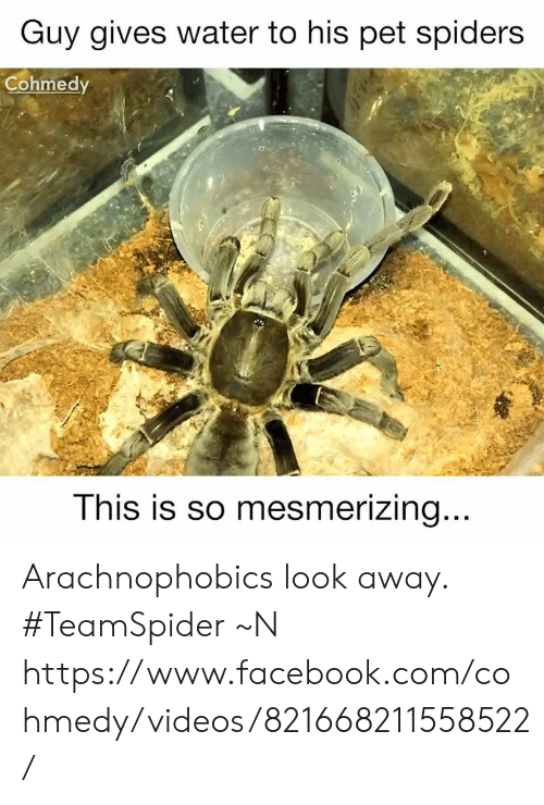 Cohmedy: Guy gives water to his pet spiders  Cohmedy  This is so mesmerizing  .. Arachnophobics look away.  #TeamSpider  ~N  https://www.facebook.com/cohmedy/videos/821668211558522/
