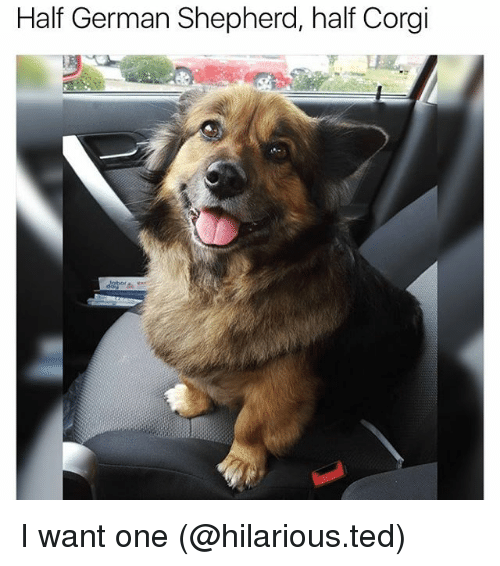 germane: Half German Shepherd, half Corgi I want one (@hilarious.ted)