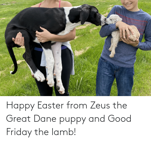 lamb: Happy Easter from Zeus the Great Dane puppy and Good Friday the lamb!