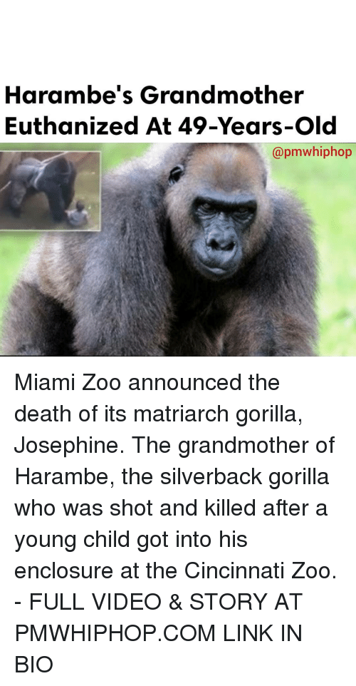 Haramber: Harambe's Grandmother  Euthanized At 49-Years-old  apmwhiphop Miami Zoo announced the death of its matriarch gorilla, Josephine. The grandmother of Harambe, the silverback gorilla who was shot and killed after a young child got into his enclosure at the Cincinnati Zoo. - FULL VIDEO & STORY AT PMWHIPHOP.COM LINK IN BIO