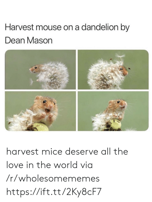 Love, Mouse, and World: Harvest mouse on a dandelion by  Dean Mason harvest mice deserve all the love in the world via /r/wholesomememes https://ift.tt/2Ky8cF7