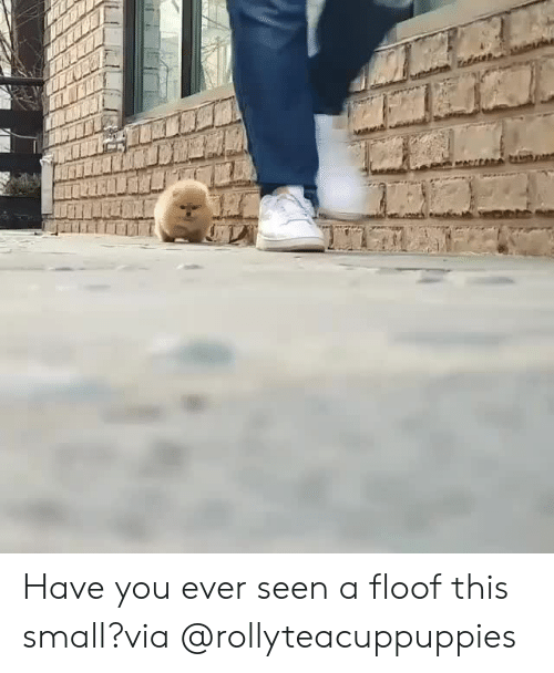 Instagram, Target, and Blank: Have you ever seen a floof this small?via @rollyteacuppuppies