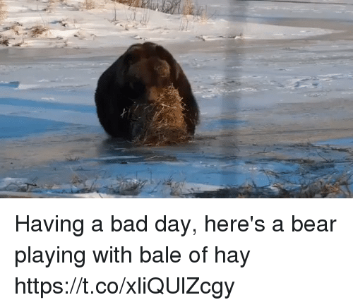 Bad, Bad Day, and Bear: Having a bad day, here's a bear playing with bale of hay https://t.co/xliQUlZcgy