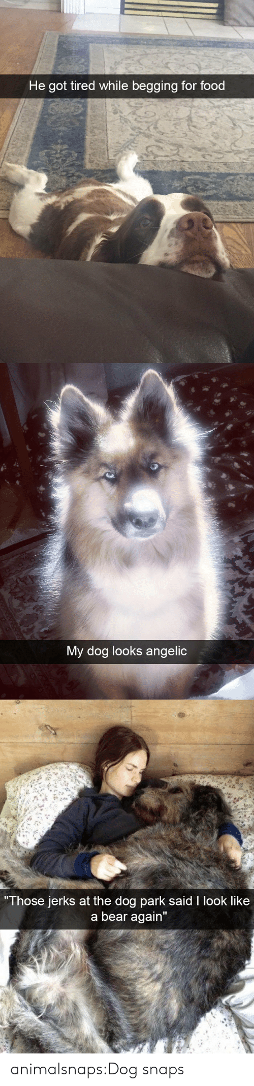 "Angelic: He got tired while begging for food   My dog looks angelic   Those jerks at the do  g park sald I look like  a bear again"" animalsnaps:Dog snaps"