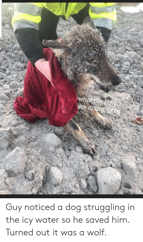 Water, Wolf, and Dog: he Guy noticed a dog struggling in the icy water so he saved him. Turned out it was a wolf.