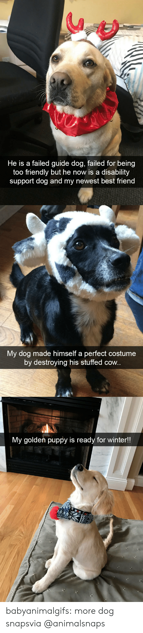 cow: He is a failed guide dog, failed for being  too friendly but he now is a disability  support dog and my newest best friend   My dog made himself a perfect costume  by destroying his stuffed cow.   My golden puppy is ready for winter!! babyanimalgifs:  more dog snapsvia @animalsnaps​