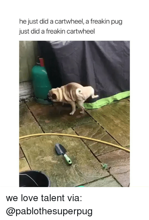 Love, Girl Memes, and Pug: he just did a cartwheel, a freakin pug  just did a freakin cartwheel we love talent via: @pablothesuperpug
