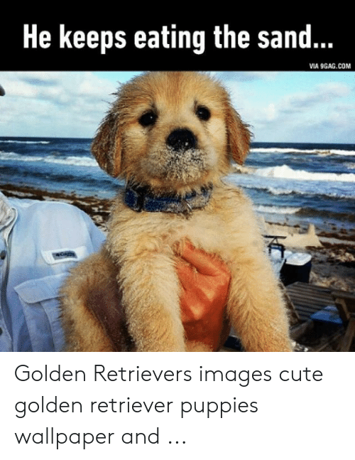 9gag, Cute, and Puppies: He keeps eating the sand...  VIA 9GAG.COM Golden Retrievers images cute golden retriever puppies wallpaper and ...