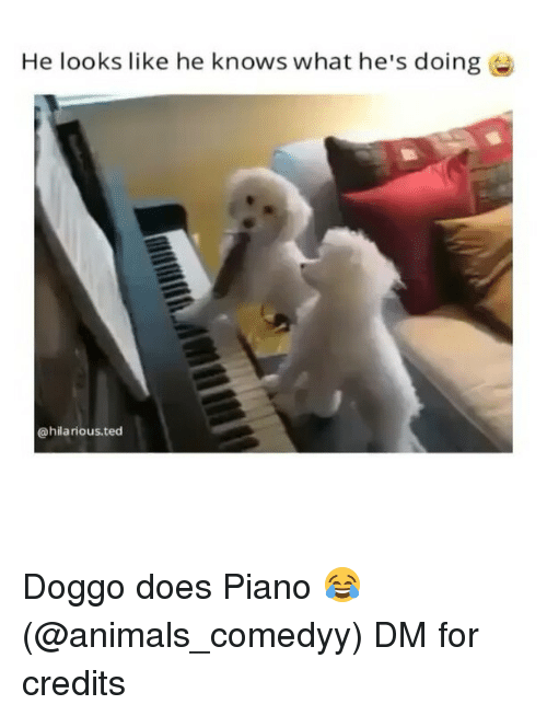Animals, Funny, and Ted: He looks like he knows what he's doing e  @hilarious.ted Doggo does Piano 😂 (@animals_comedyy) DM for credits