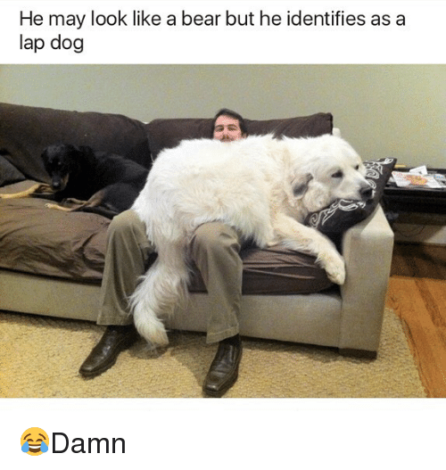 bearings: He may look like a bear but he identifies as a  lap dog 😂Damn