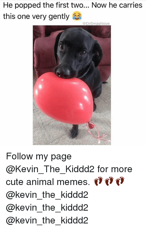Cute, Memes, and Animal: He popped the first two... Now he carries  this one very gently  da Drsmashlove Follow my page @Kevin_The_Kiddd2 for more cute animal memes. 👣👣👣 @kevin_the_kiddd2 @kevin_the_kiddd2 @kevin_the_kiddd2
