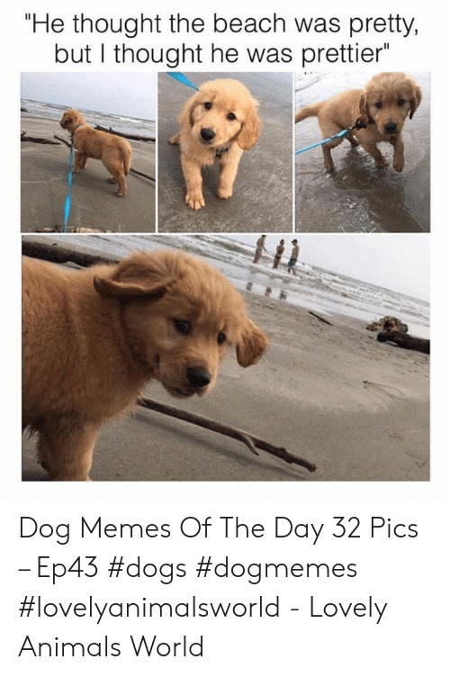 """But I Thought: """"He thought the beach was pretty,  but I thought he was prettier Dog Memes Of The Day 32 Pics – Ep43 #dogs #dogmemes #lovelyanimalsworld - Lovely Animals World"""